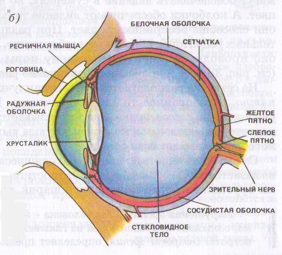 Анатомия: вспомогательные органы глаза. мышцы глазного яблока. мышцы глаза.