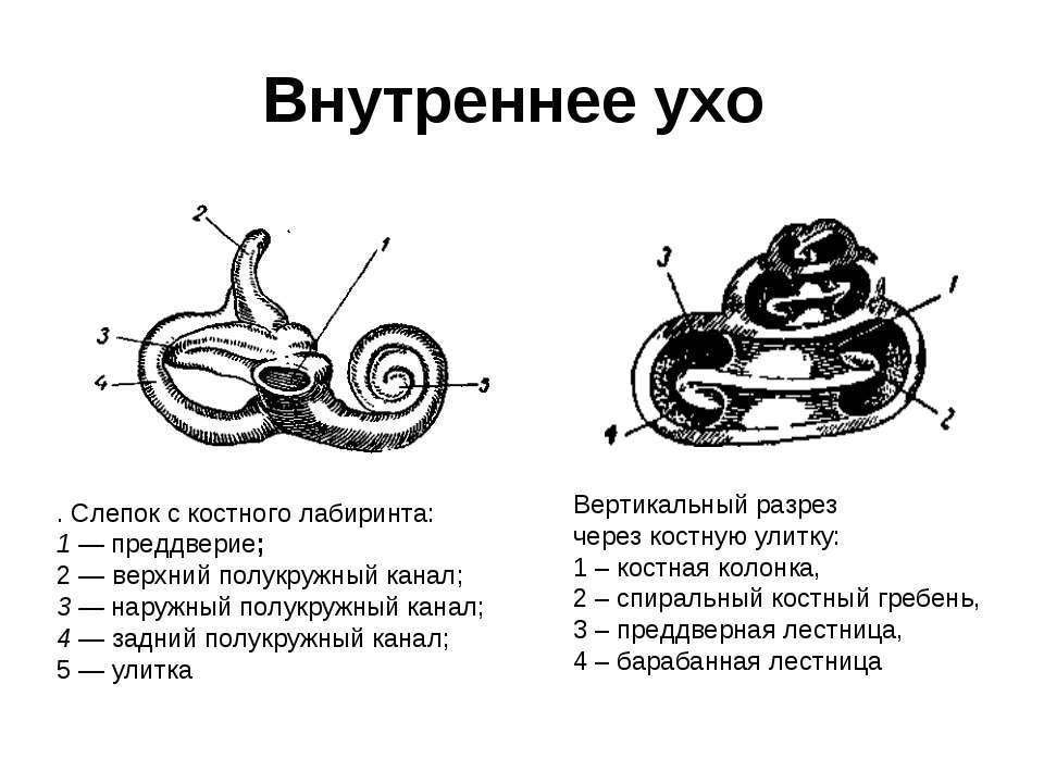Анатомия: среднее ухо, auris media. барабанная полость, cavitas tympanica. стенки барабанной полости.