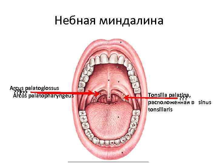 Строение и функции небных миндалин, возможные заболевания и их лечение