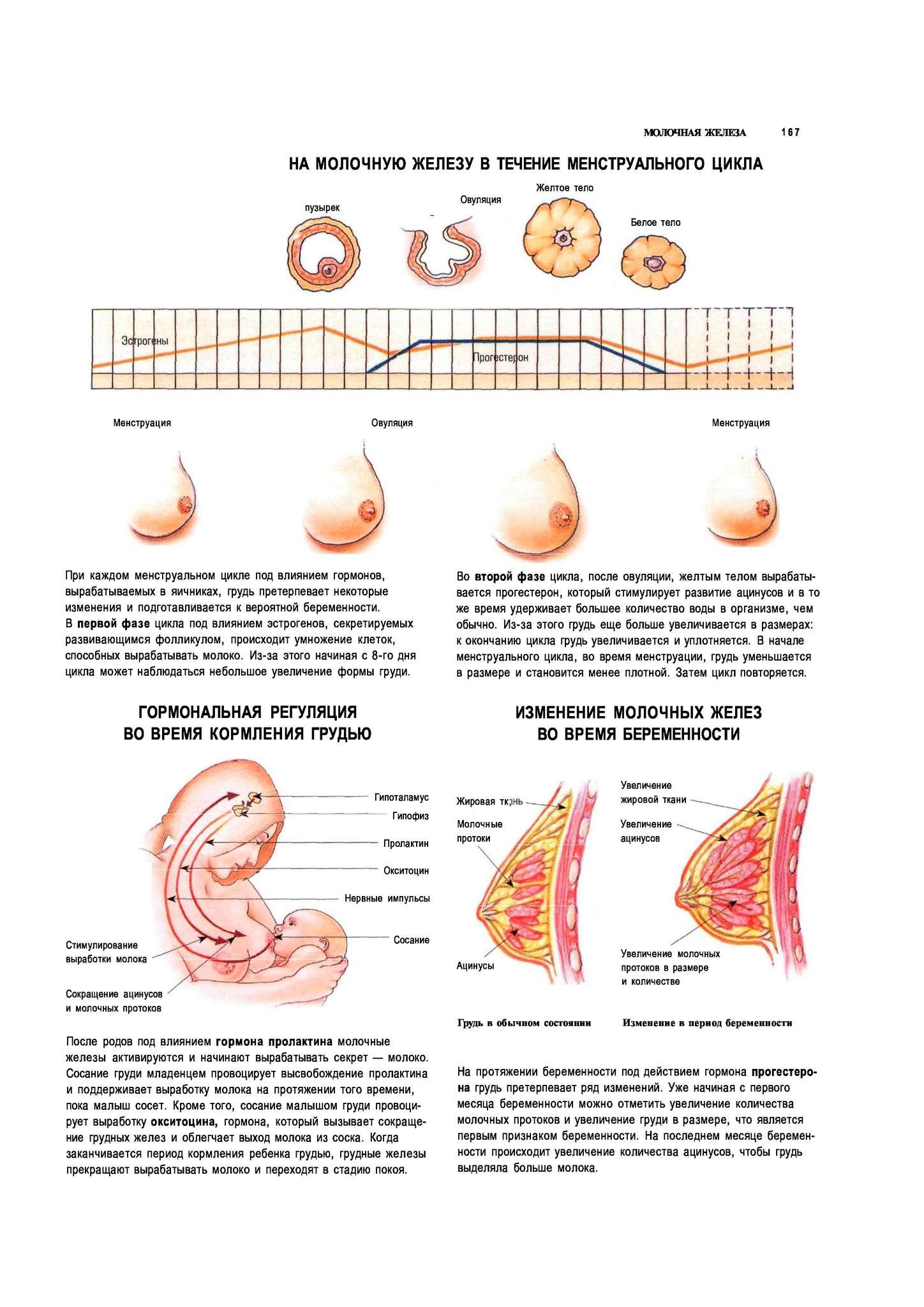 Почему наливается и болит грудь в середине цикла