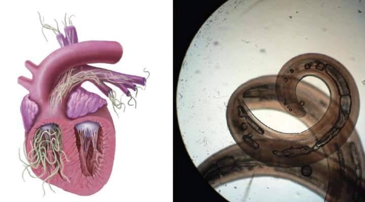 Дирофиляриоз у человека: профилактика и лечение