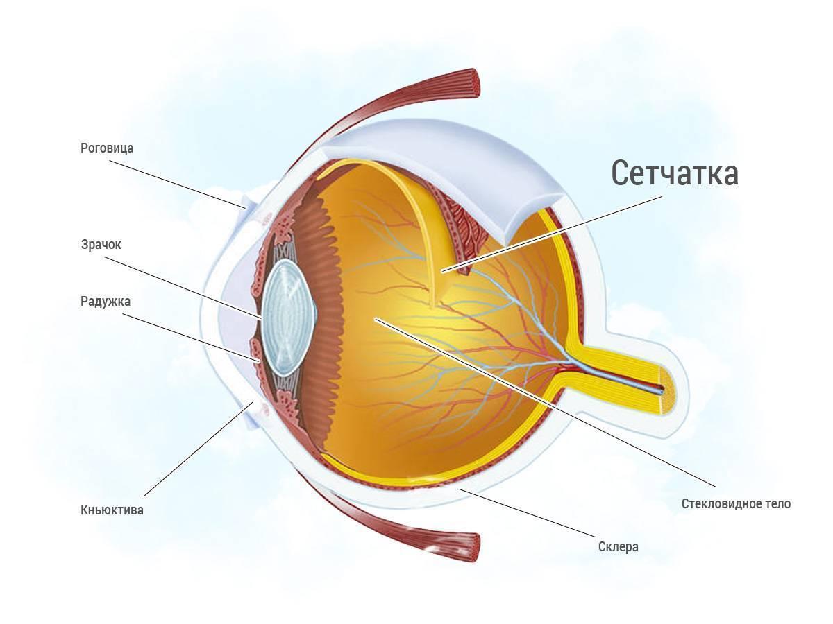 где находится сетчатка глаза