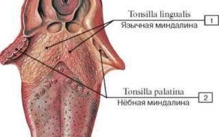 язычная миндалина анатомия