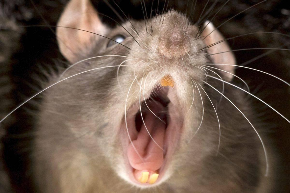 Земмифобия — боязнь крыс и мышей