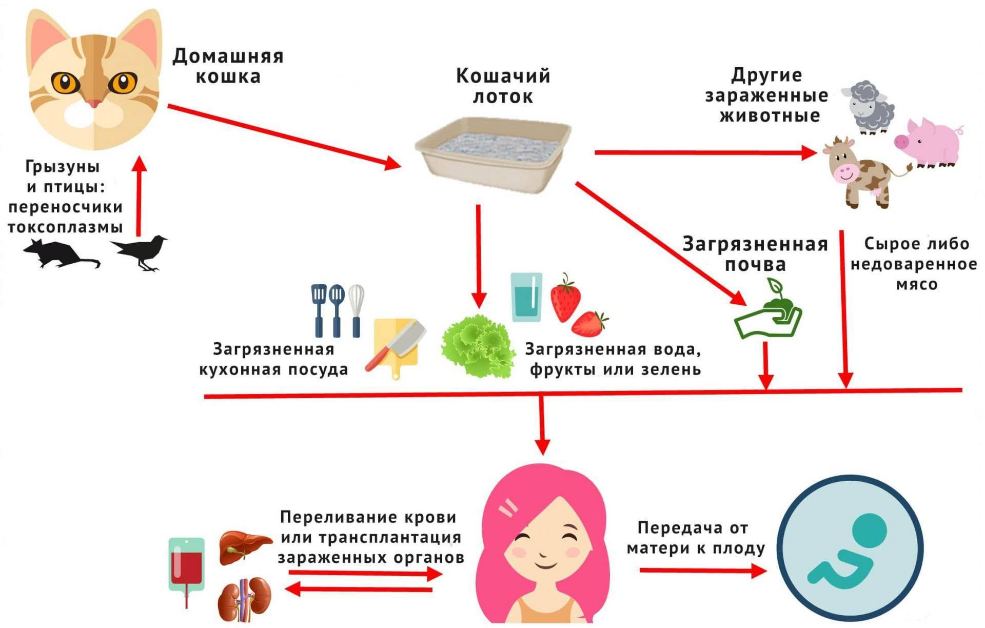 Токсоплазмоз при беременности: токсоплазмоз при беременности