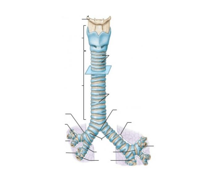 Симптомы стеноза трахеи, бронхов и их лечение
