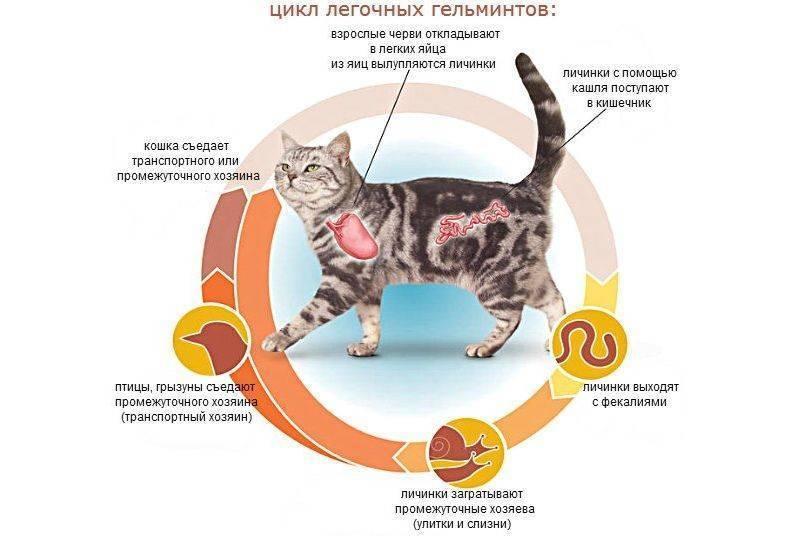 Можно ли от кошки заразиться глистами: опасные черви для человека