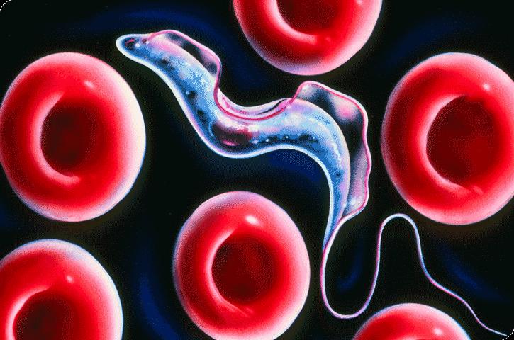 Анализ крови на паразитов – информативный метод диагностики