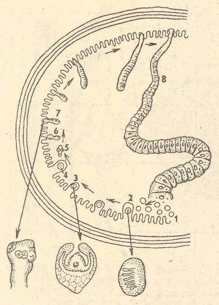 Карликовый цепень у человека: методы лечения