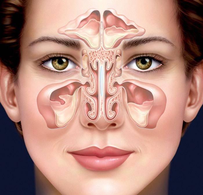 Анатомия носа и околоносовых пазух