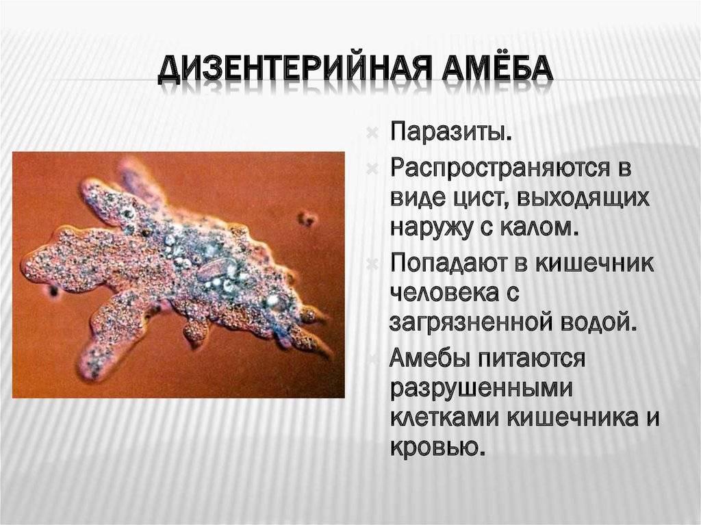 Дизентерийная амёба – это… что такое дизентерийная амёба?