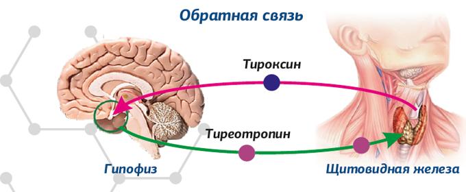 Гормон ттг – главный игрок щитовидной железы