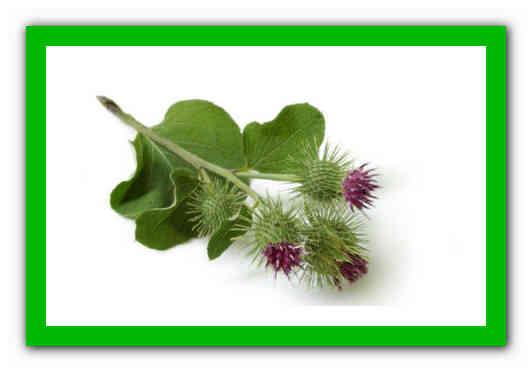 Особенности лечения геморроя с применением листьев и корня лопуха