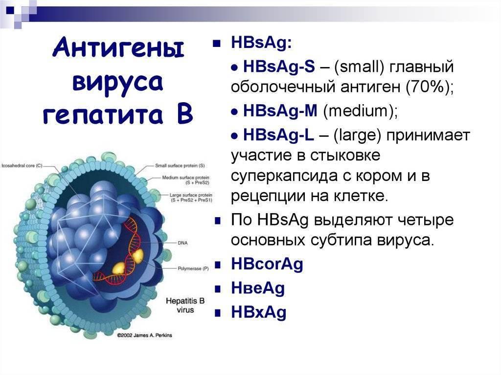антитела к гепатиту б