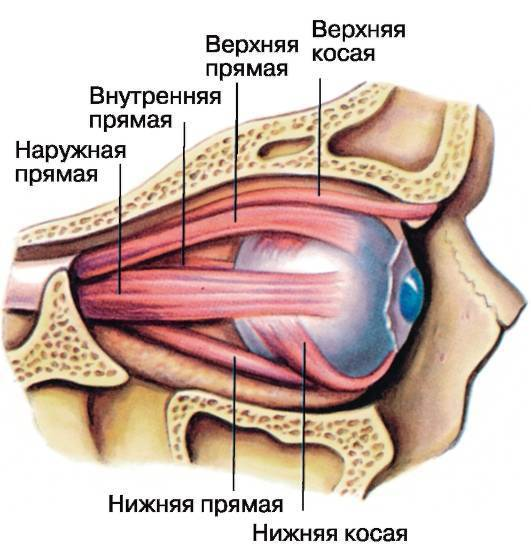 мышцы глаза человека