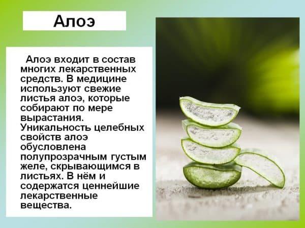 Рецепты с алоэ при гайморите: как приготовить и применять столетник правильно