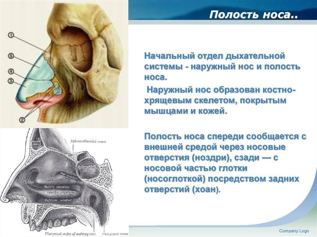 Носовая полость. ее строение и функции