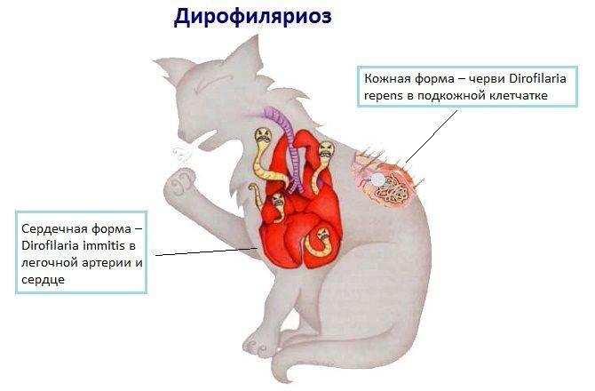 Паразиты в сердце человека: симптомы сердечных гельминтозов, виды глистов и профилактические меры