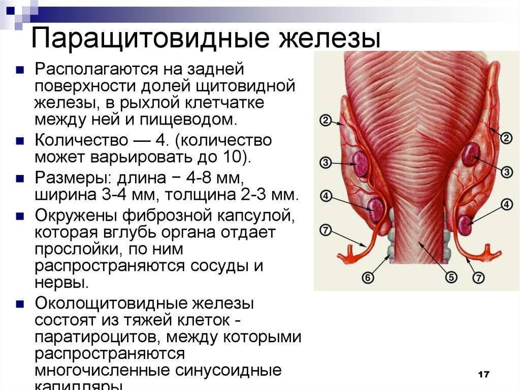 Функции паращитовидной железы, диагностика и лечение