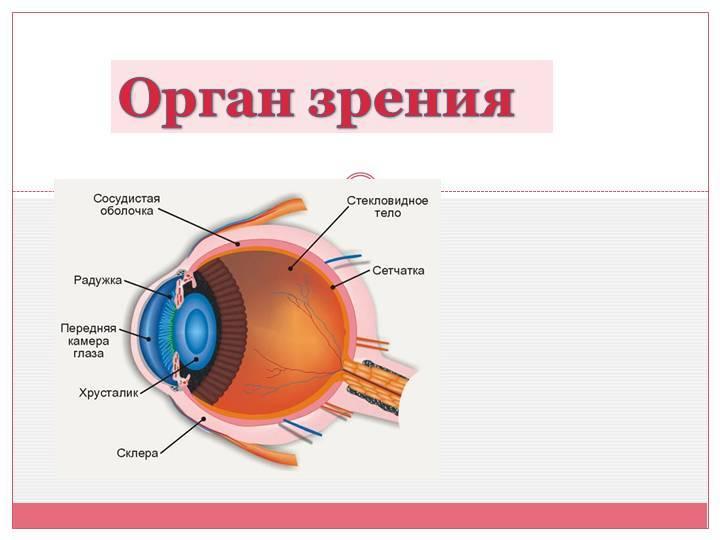 строение органа зрения человека