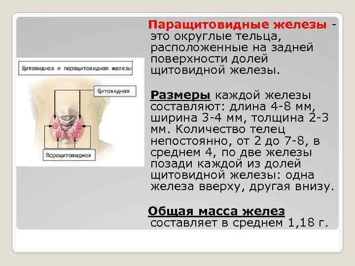 Паращитовидная железа – большая роль маленького органа