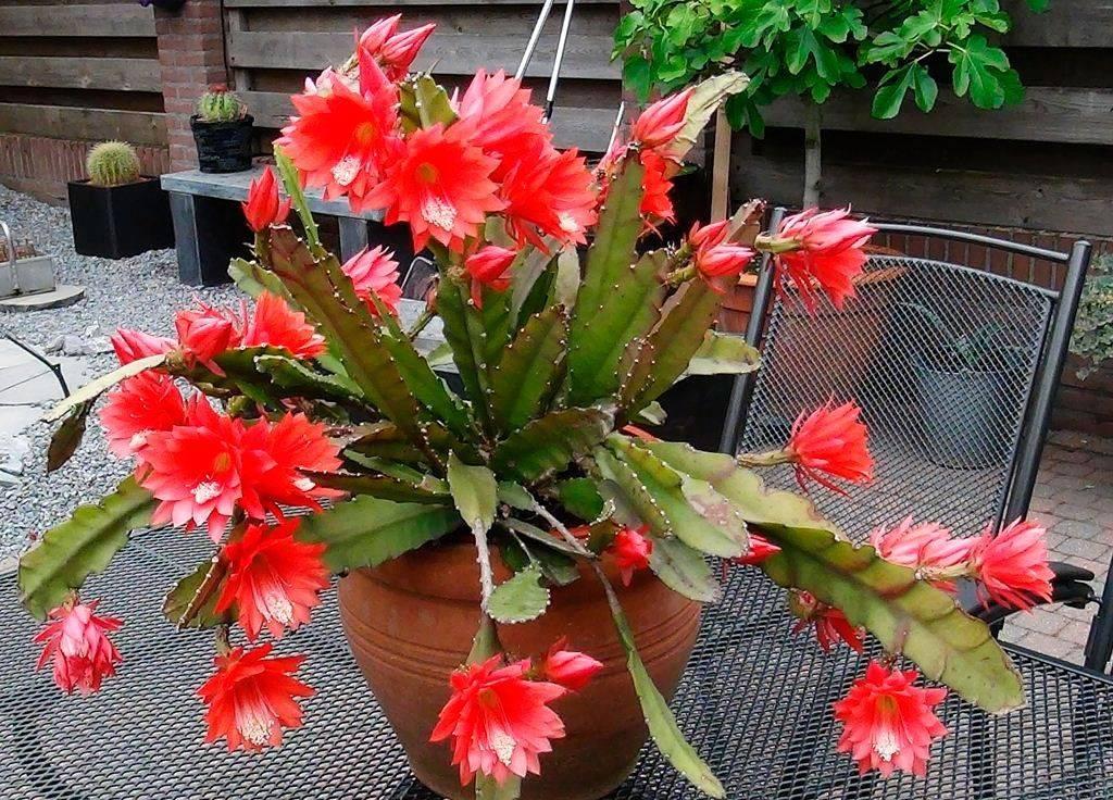 Эпифиллум (69 фото): уход за филлокактусом в домашних условиях. почему он называется лесным кактусом? особенности размножения