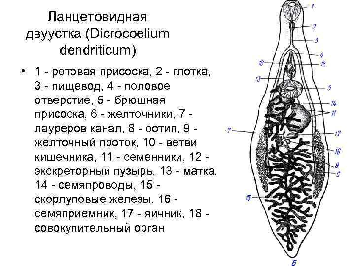 Ланцетовидный сосальщик: жизненный цикл, заболевание, диагностика, фото