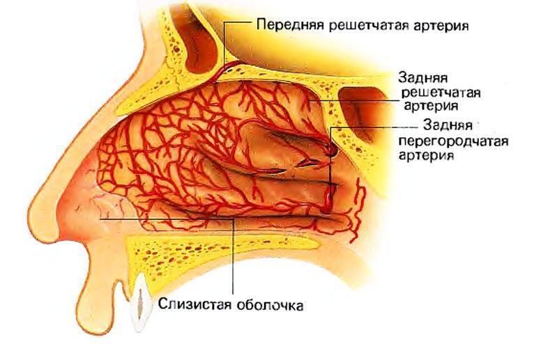слизистая носа