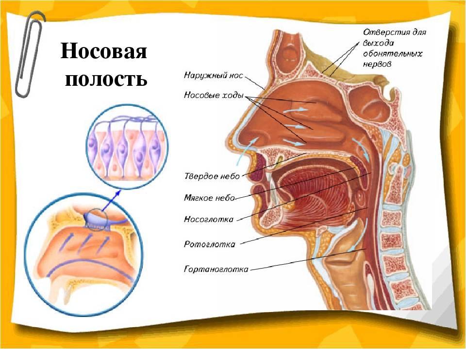 Клинические особенности анатомии носа и околоносовых пазух