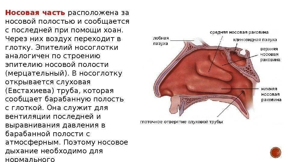 нос человека строение