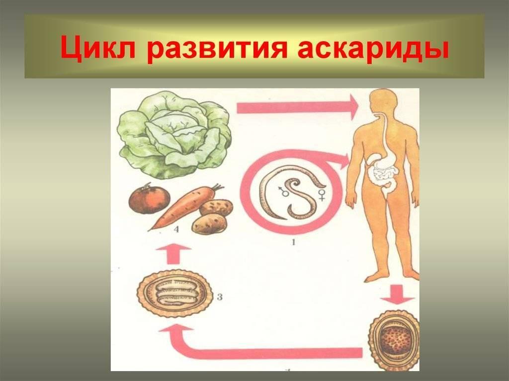 Сколько могут жить аскариды в теле