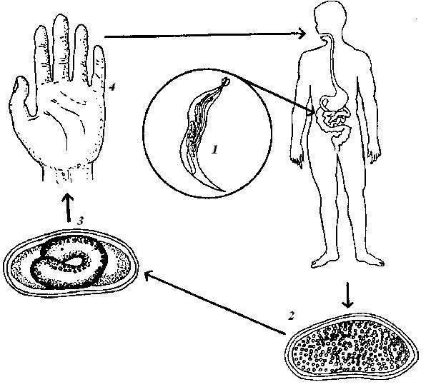 сколько живут острицы в организме человека