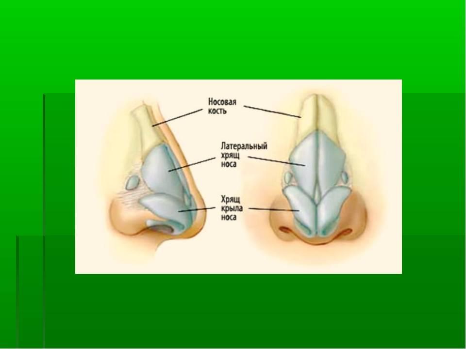 Строение и функции носовых хрящей