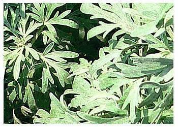 травы от рака молочной железы
