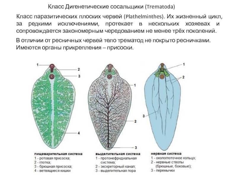 трематоды это