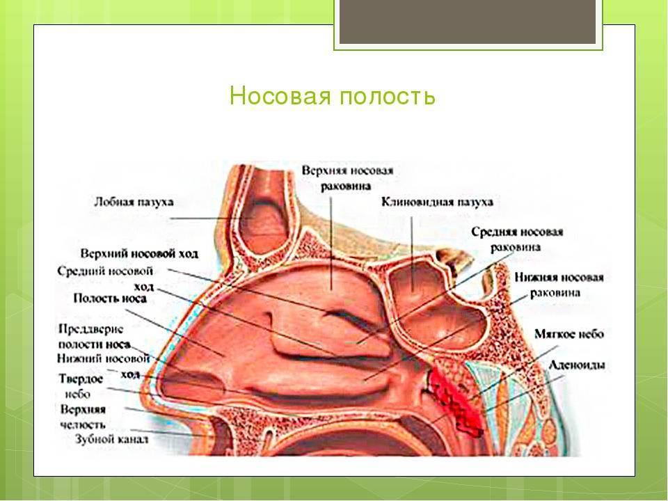 Какие особенности имеют пазухи носа