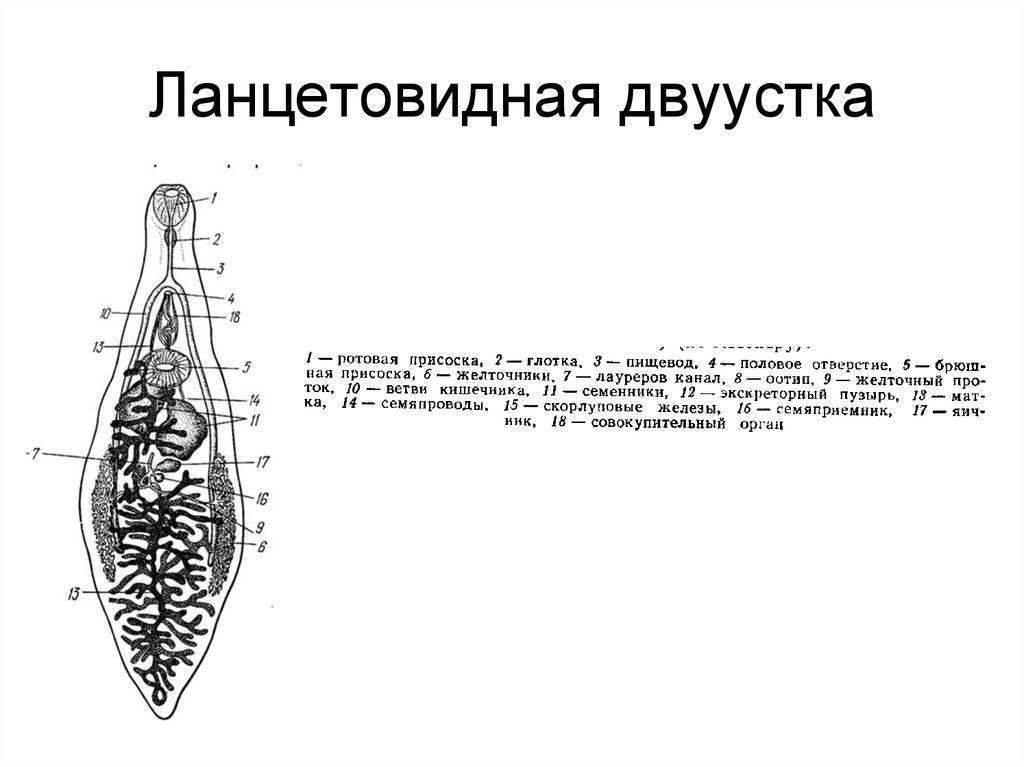 Ланцетовидный сосальщик