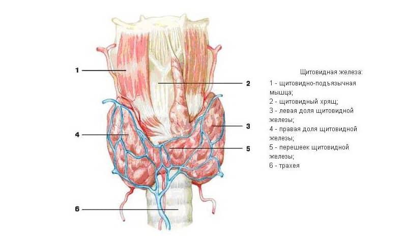 Где находится щитовидная железа?