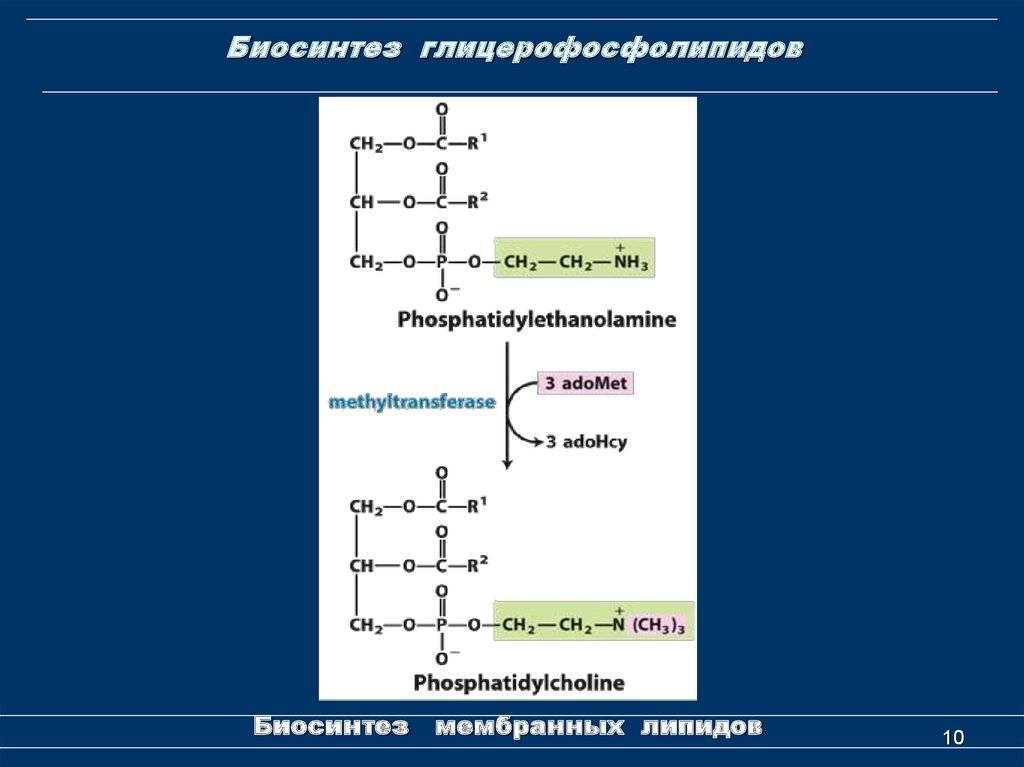 Биосинтез нейтральных жиров и фосфолипидов