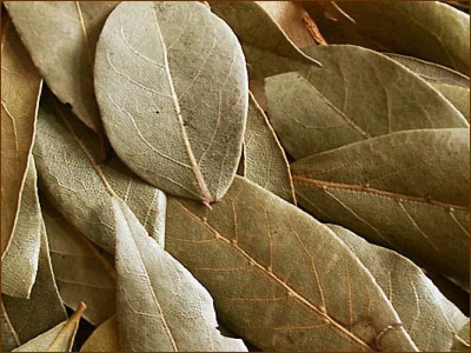 Целебные свойства лаврового листа и рецепты для лечения геморроя
