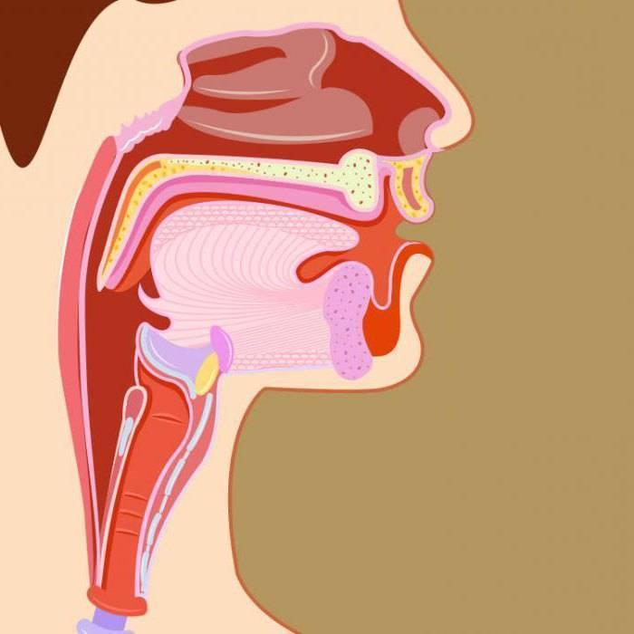 анатомия горла