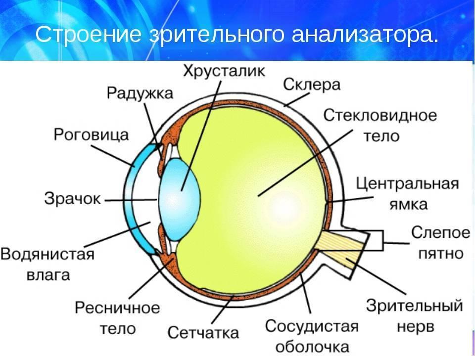 Орган зрения человека: структурная анатомия и физиология