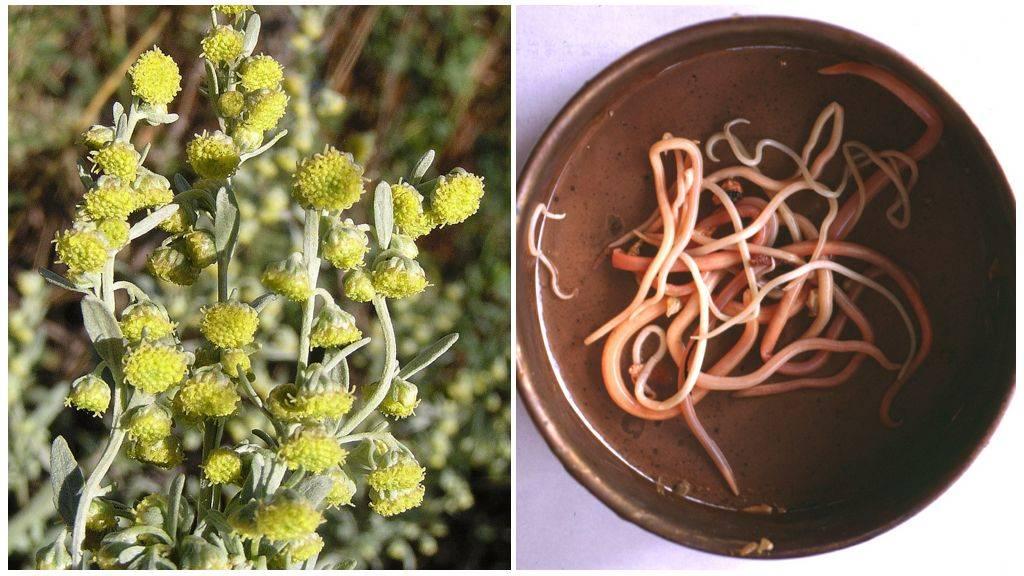 Травы от глистов и паразитов
