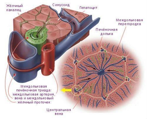 цирроз печени асцит прогноз
