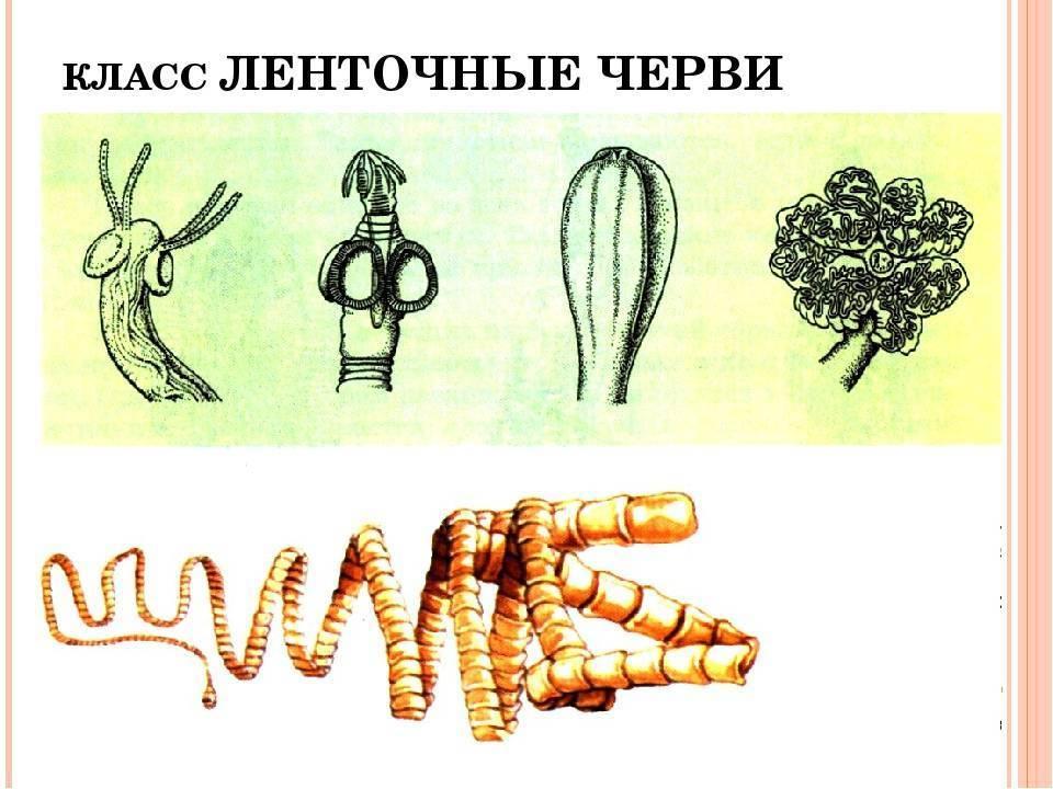 Ленточные черви в организме человека: методы выявления и лечение