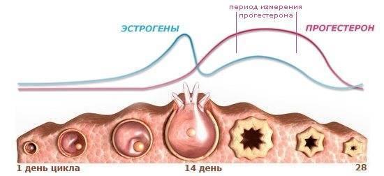 В середине цикла болит правая грудь