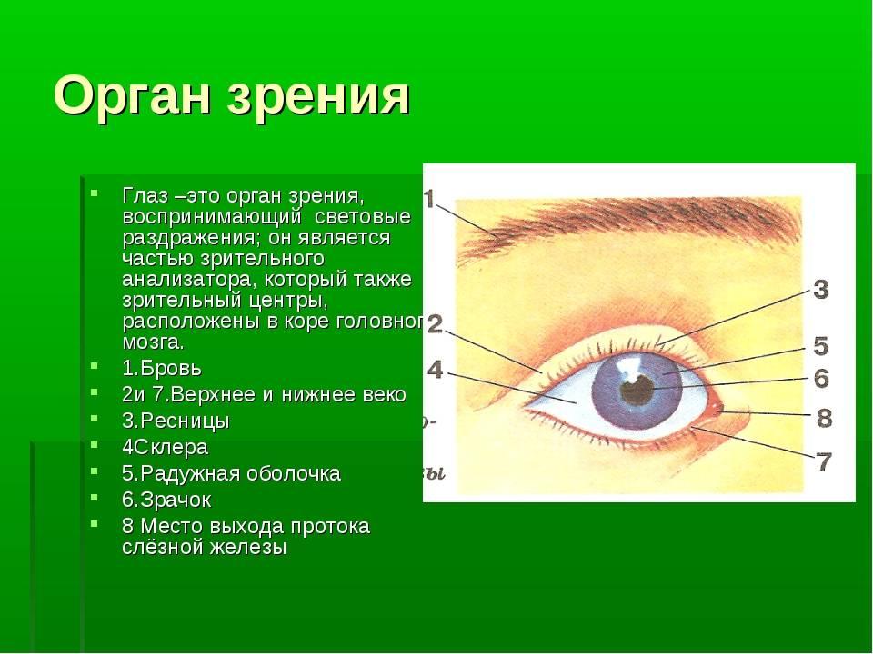 Просто о сложном: строение глаза и его функции