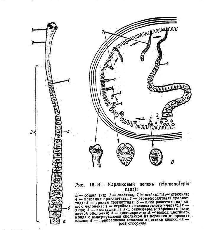 Карликовый цепень: жизненный цикл, симптомы и лечение | все о паразитах