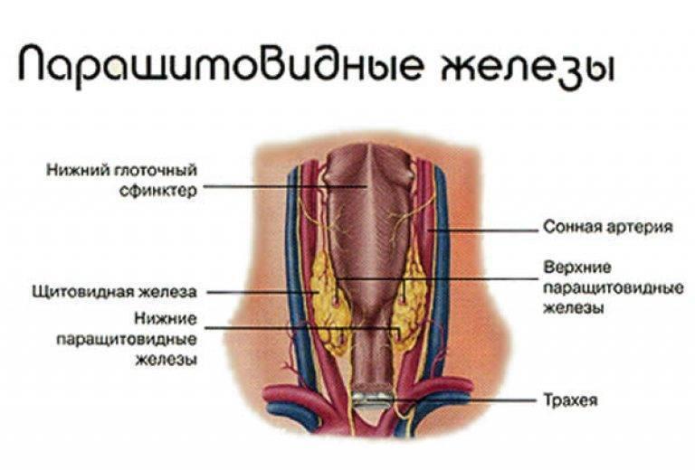 паращитовидная железа роль в организме