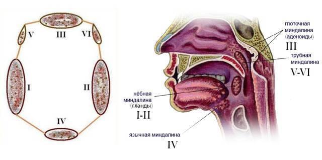 Язычные миндалины